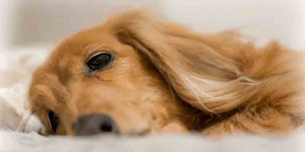 歯周病の犬