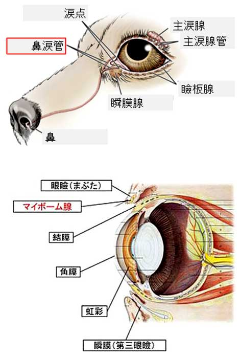 鼻涙管とマイボーム線の詰まり